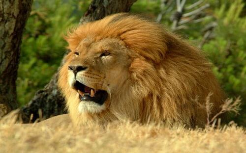 Lion Roar- Mac OS X Lion Wallpaper