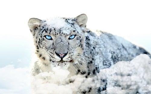 Mac OS X Snow Leopard HD Blue Eye Wallpaper