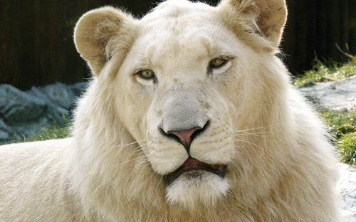 White_Lion_Apple_OS_X_Lion_backgrounds